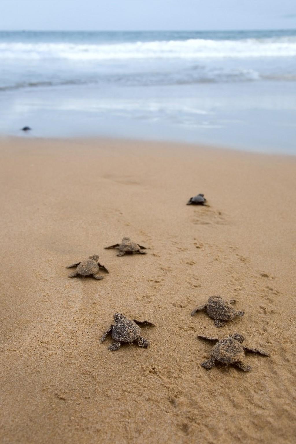 Desove tortugas Costa Rica